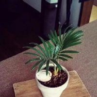プレゼントに最適!おすすめのミニ観葉植物についての画像