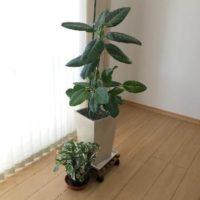 育てやすいゴムの木の仲間の観葉植物って何があるの?の画像