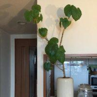 リビングにおすすめの観葉植物をご紹介!の画像