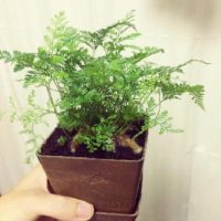 観葉植物のシノブについての画像
