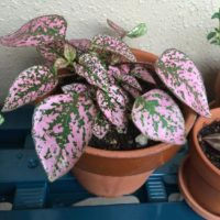 ピンクの葉っぱがかわいい観葉植物とは?の画像