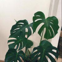 必見!人気の観葉植物ランキング!の画像