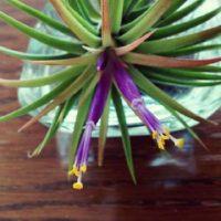 不思議な植物、エアプランツについての画像