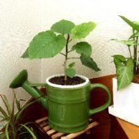 ハート型の葉で人気の観葉植物ウンベラータって?の画像