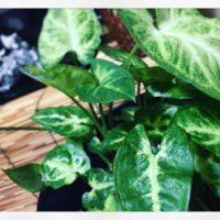 観葉植物の一種、シンゴニウムの育て方の画像