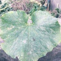 観葉植物に白い粉や綿が!?原因と対処法は?の画像