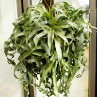 土を必要としない植物として販売されているチランジアの画像
