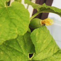 観葉植物に白い粉や綿のようなものを見つけたら要注意!の画像