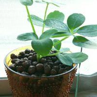 観葉植物をハイドロカルチャーで育ててみよう!の画像