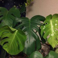 人気の観葉植物といえばこれ!の画像