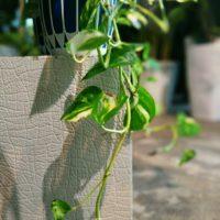 初心者向け!観葉植物ポトスの種類の画像
