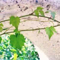 戸外にツタ類の観葉植物を植えてみよう!の画像
