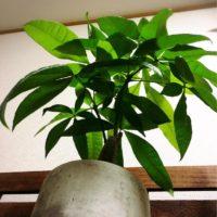 リビングに置ける!人気の観葉植物とは!?の画像