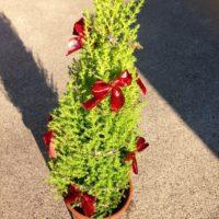 クリスマスシーズンにおすすめの観葉植物の画像
