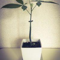 部屋に木を飾りたい!どんな種類の観葉植物があるのかご紹介の画像