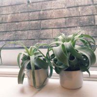 人気のチランジアを鉢植えで育てよう!の画像