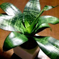 初めての観葉植物は可愛い小型サイズからチャレンジ!の画像