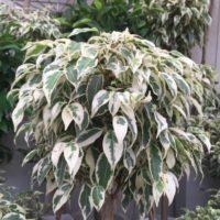 黄色と緑の色合いを楽しむことが出来る人気の観葉植物の画像