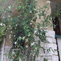 花や実も楽しむことが出来る観葉植物、ジャスミンの画像