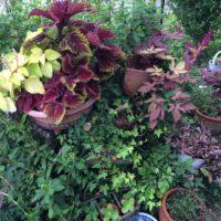 緑だけじゃない。赤い観葉植物でお部屋のアクセントに!の画像