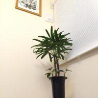 和風の部屋にも観葉植物を!竹のような観葉植物3選の画像