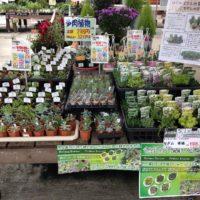 ホームセンターに置いてあるおすすめ観葉植物のご紹介!の画像