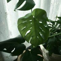 観葉植物モンステラの楽しみ方の画像