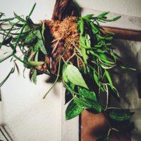 花言葉は『人生の門出』『満足』という観葉植物ホヤの画像