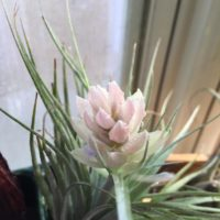 花が咲く品種もたくさんある!観葉植物の花の画像