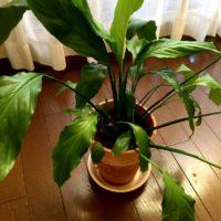 日本の夏でも大丈夫、暑さに強い観葉植物の画像