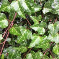 使い勝手抜群のツタ類の観葉植物の画像