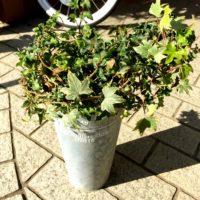 一覧表を見ても名前がわからない観葉植物、アイビーの探し方の画像