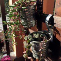 それ一つで部屋の雰囲気を変える「垂れ下がる」系の観葉植物の画像