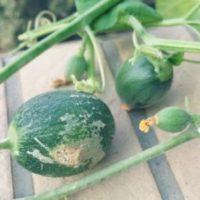 観葉植物の天敵、予防のしづらいカイガラムシの画像