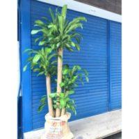 大きく元気に育てる!大型観葉植物ドラセナの育て方の画像