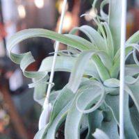 ハンギングプランターを使って空間を観葉植物で飾ろうの画像