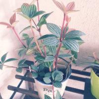 観葉植物としてもインテリアとしても人気、ペペロミアの画像