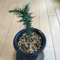 日本では滅多に見られない珍しい観葉植物の画像