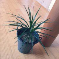 観葉植物ドラセナの中でも人気の高い、コンシンネとはの画像
