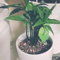 話題沸騰の観葉植物、ナギの育成方法をご紹介!の画像