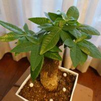 大きい観葉植物をレイアウトするコツとはの画像