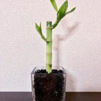 竹の観葉植物?ミリオンバンブーの育て方の画像