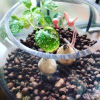 ハイドロカルチャーで楽しく観葉植物を育てよう!の画像