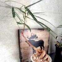 葉っぱが美しい観葉植物!珍しい品種も!?の画像