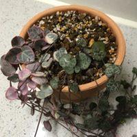 小さくてかわいい観葉植物ベスト3!の画像