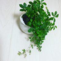 卓上サイズの可愛い観葉植物6選!の画像