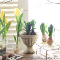 土付き芽だし球根で「ヒヤシンス」水栽培はじめませんか?の画像