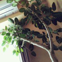 ベンガルゴムの木の育て方|特徴や飾り方もご紹介!の画像