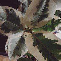 広い部屋には大型の観葉植物をの画像