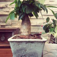 観葉植物の定番!パキラの人気の理由をご紹介しますの画像